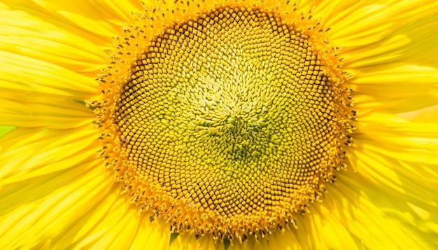 Close-up van stuifmeel zonnebloem op zonnige dag achtergrond