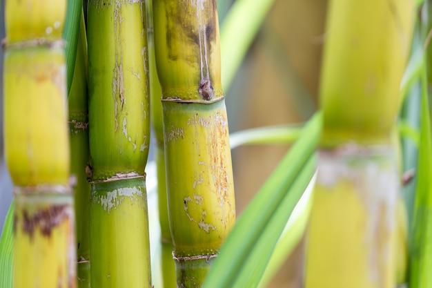 Close-up van suikerriet met blauwgroene bladachtergrond