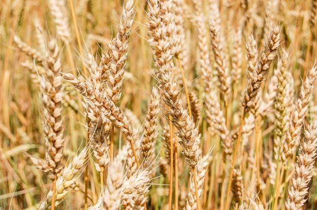 Close-up van tarwe oren op het veld.