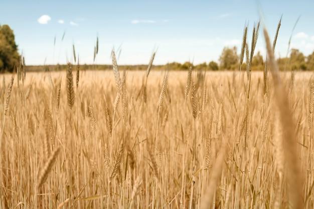 Close-up van tarwe spike op het veld.