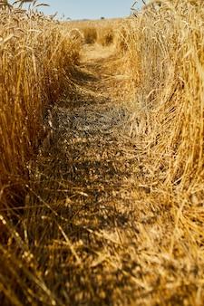 Close-up van tarweoogst, tarweveld achtergrond in de zon dag, zomer