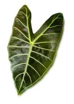 Close-up van tropische groene blad alocasia longiloba satun geïsoleerd op een witte achtergrond, uitknippad.