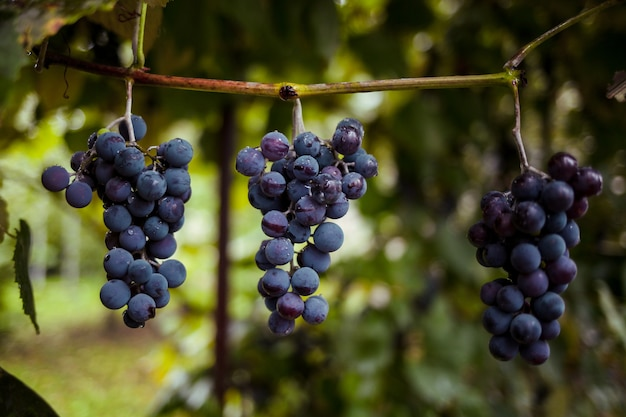 Close-up van trossen rijpe rode wijndruiven