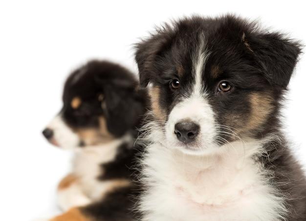 Close-up van twee australian shepherd pups, focus op de voorgrond tegen een witte achtergrond