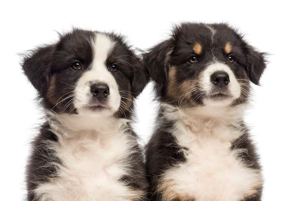 Close-up van twee australian shepherd pups, wegkijken tegen een witte achtergrond