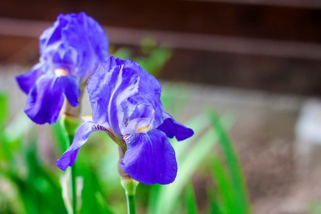 Close-up van twee de blauwe irisbloemen op groene tuin