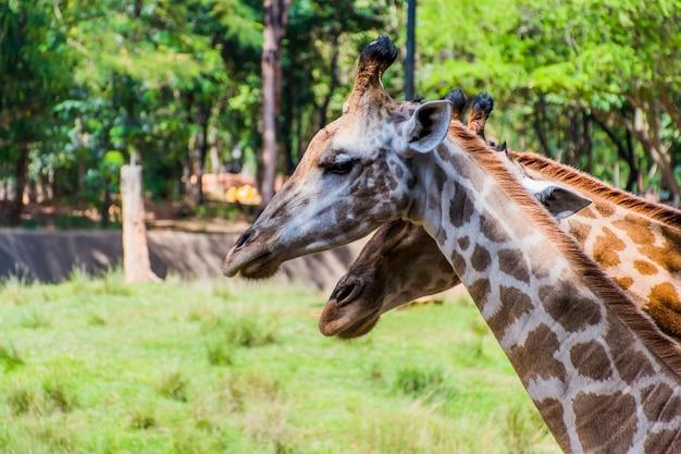 Close-up van twee giraffen die met hun hoofden bij elkaar staan en een wazige natuurlijke achtergrond.