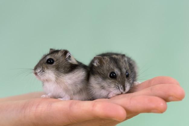 Close-up van twee kleine grappige miniatuurjungarhamsters die op de handen van een vrouw zitten. pluizige en schattige dzhungar-ratten thuis.