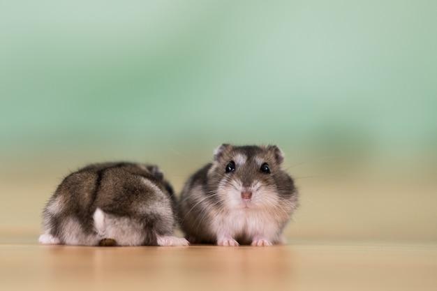 Close-up van twee kleine grappige miniatuurjungarhamsters die op een vloer zitten. pluizige en schattige dzhungar-ratten thuis.