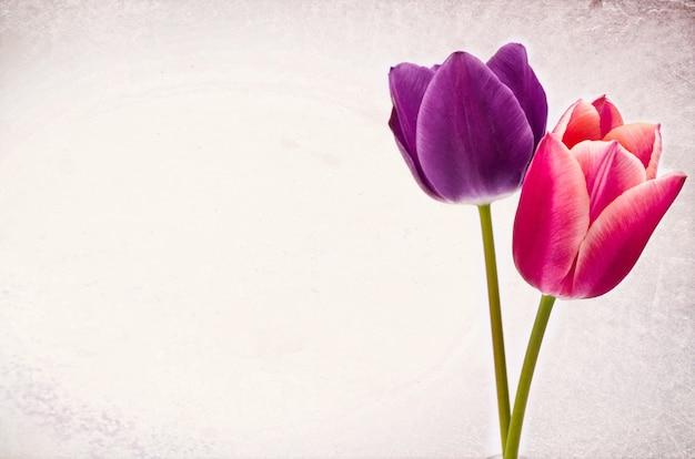 Close-up van twee kleurrijke tulpenbloemen die op witte achtergrond met ruimte voor uw tekst worden geïsoleerd