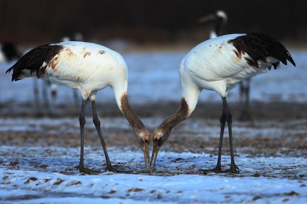 Close-up van twee kraanvogels die dode vissen op de grond eten die in de sneeuw in hokkaido in japan wordt behandeld