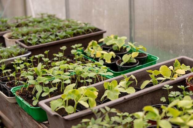 Close up van vele soorten bio plantaardige zaailingen in de kas, landbouw concept