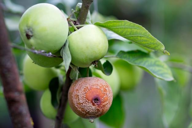 Close-up van verlicht door felle zonbrunch met mooie grote rijpe groene en slechte rotte appels