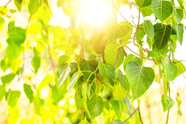 Close-up van vers groen bo-blad met zonlicht in de ochtend. bodhi pipal boom boom bladeren