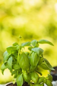 Close-up van verse groene basilicumbladeren