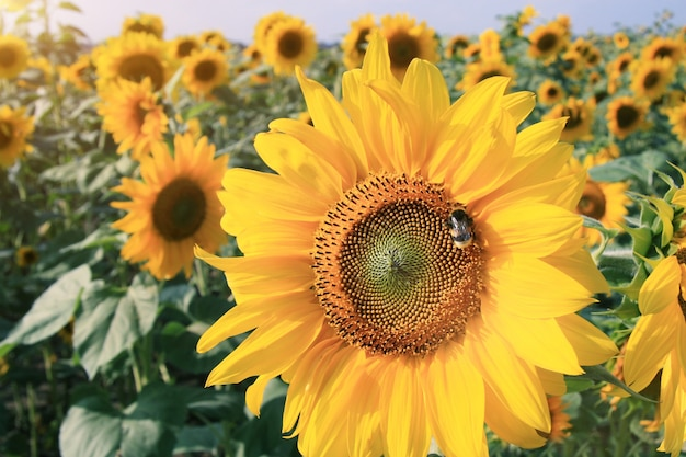 Close-up van verse zonnebloem, biologische landbouw in landelijke plantage