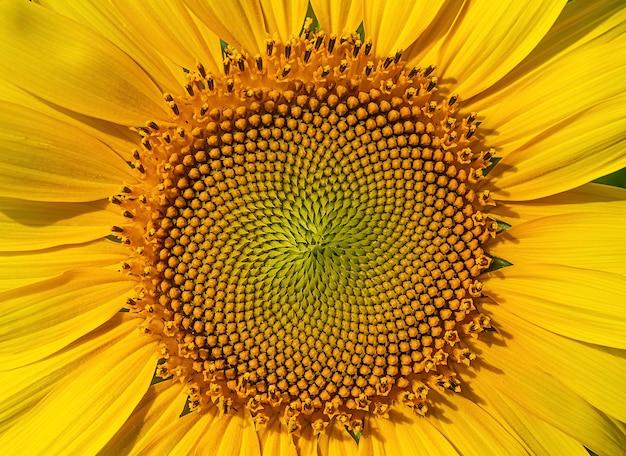 Close-up van verse zonnebloemkern in de zomer.