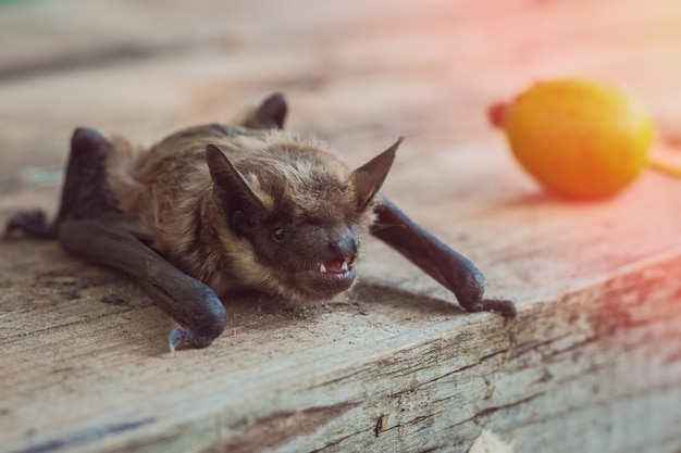 Close-up van vleermuis gezicht