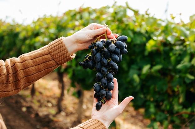 Close up van vrouw handen met rode druiven bos hand met zwarte druiven fruit oogsten druiven in ...