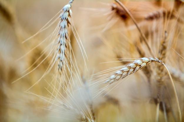 Close-up van warme gekleurde goudgele rijpe geconcentreerde tarwe