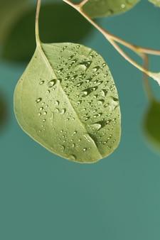 Close up van waterdruppels op een groene bladeren van eucalyptus. macro-opname van mooi blad met regendruppels.