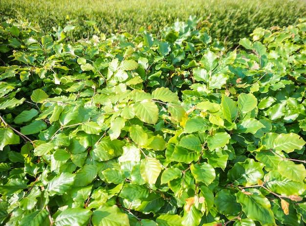 Close-up van weelderige groene bladeren van een struik met grassen