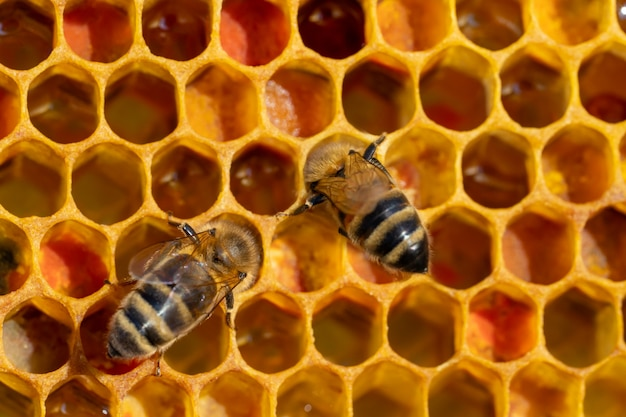 Close-up van werkende bijen op honingraten. imkerij en honingproductiebeeld