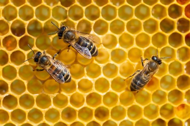 Close-up van werkende bijen op honingraten