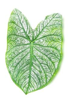 Close-up van witte blad groene ader van caladium geïsoleerd op een witte achtergrond, uitknippad.