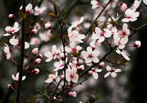 Close-up van witte bloemen op bloeiende tak bij donkere achtergrond