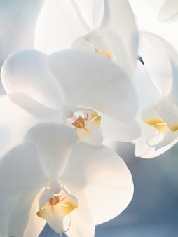 Close-up van witte orchideeën op blauwe achtergrond. afgezwakt beeld.
