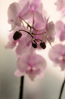 Close-up van witte orchideeën op lichte achtergrond. phalaenopsis orchid gestreept geïsoleerd. roze orchidee in pot op witte achtergrond. beeld van liefde en schoonheid. natuurlijke achtergrond en ontwerpelement.