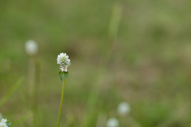 Close-up van witte weide bloemen in veld of gras bloem