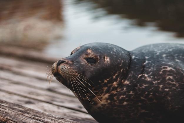 Close-up van zeeleeuw dichtbij het water