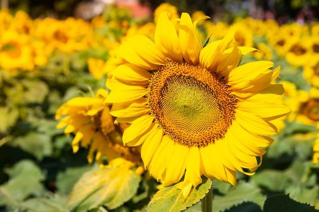 Close-up van zonnebloem bloeiende natuurlijke achtergrond