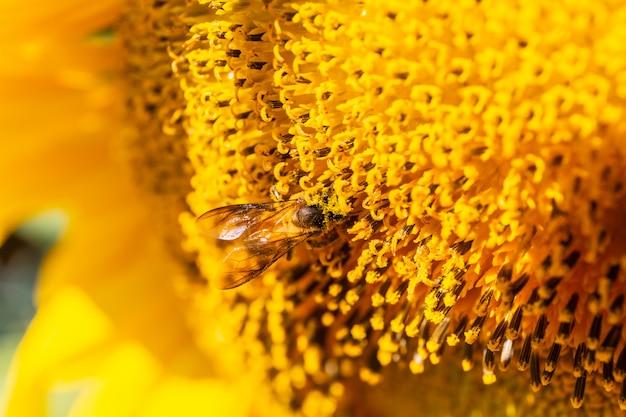 Close-up van zonnebloem die met een bij bloeit