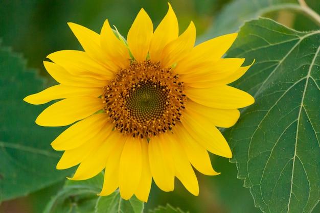 Close-up van zonnebloem op boerderij of weide.