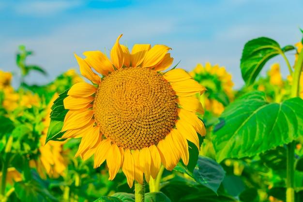 Close-up van zonnebloem op het veld met heldere hemel