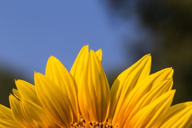 Close-up van zonnebloem op veld