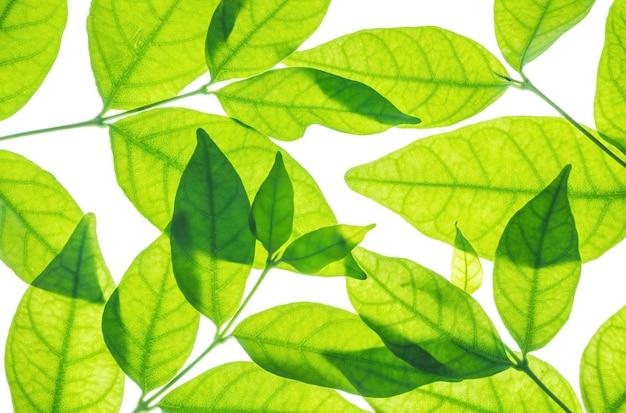 Close-up verse groene bladeren die op wit worden geïsoleerd