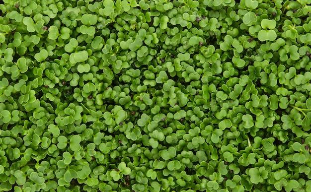 Close-up verse groene rucola microgreen spruiten achtergrond, verhoogde bovenaanzicht, direct erboven