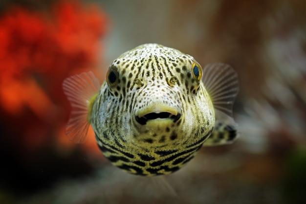 Close-up vooraanzicht van de kogelvis