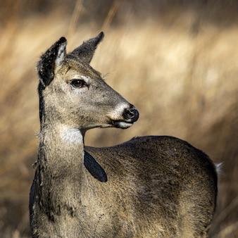 Close-up whitetail doe portret op zoek naar rechts vervaging met gras begroeide backgroun