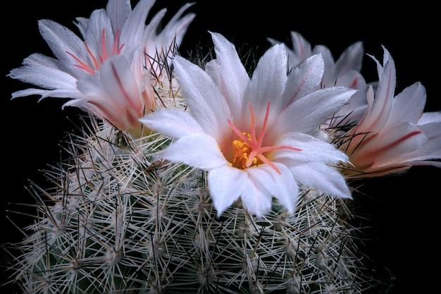 Close-up witte bloem van coryphantha cactus
