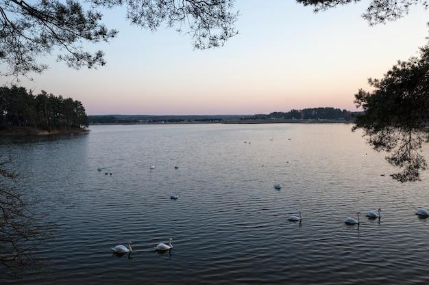 Close-up witte zwanen die op het meer dichtbij de stad leven