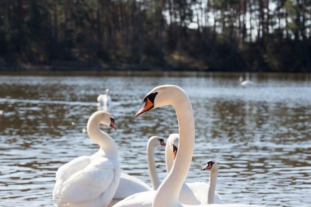 Close-up witte zwanen die op het meer in de buurt van de stad leven, mooie grote watervogels in het lenteseizoen terwijl ze op zoek zijn naar een paar