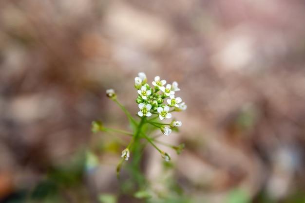 Close-up zicht op een tedere plant met dunne stengels en witte bloemen tegen een vage lichtbruine achtergrond
