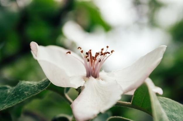 Close-up zijaanzicht van een mooie witte tot bloei komende bloem met roze meeldraden in het midden tegen een vage achtergrond van pluizige donkergroene bladeren. selectieve aandacht