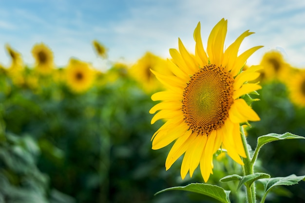 Close-up zonnebloem tegen blauwe hemel en veld met zonnebloemen.
