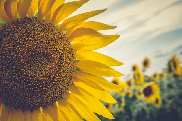 Close-up zonnebloem
